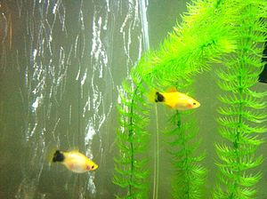 Platy (fish) - Two female Mickey Mouse platies, in aquarium