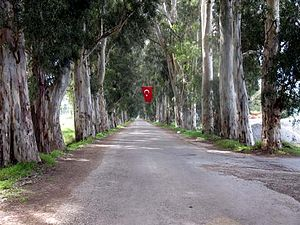 "Gökova - The Gökova ""Eucalyptus Tunnel"" in Gökova Municipality which is also often mistakenly attributed to Akyaka"