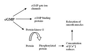 Discovery and development of phosphodiesterase 5 inhibitors - Figure 2. Formation of cGMP and its effect in the body