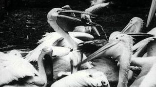 <i>Pelicans at the Zoo</i> 1898 film