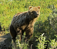 Wild grizzly bear in Alaska.png