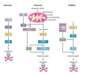 Programmed cell death - A conserved apoptotic pathway in nematodes, mammals and fruitflies