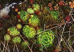 Sempervivum Globiferum Showing Larger Mother Plants Hens And Smaller Globe Shaped Offsets S Globi