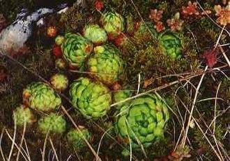 Crassulaceae - Sempervivum globiferum, Hen and chicks