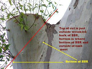 Pruning - Pruning when it's a codominant stem