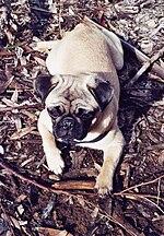 Pug Temperament | RM.