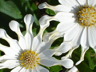 Osteospermum - 'White Spoon'