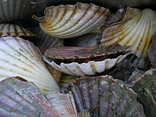 NZ Scallop.JPG