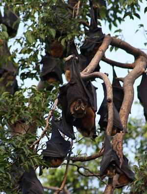 Panitian, Palawan - It is common for big bats like these in Panitian to hang from one's backyard fruit tree like a caimito or a santol tree.