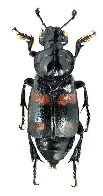 Nicrophorus orbicollis - Image: N. orbicollis habitus together