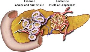 This is an illustration of the pancreas and its main locations for exocrine and endocrine functions.