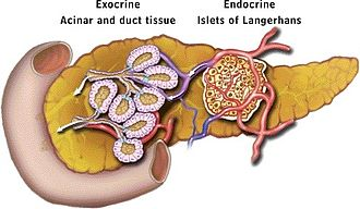 Diagram showing different functional parts of the pancreas Pancreatic-Model-of-Exocrine-and-Endocrine-Function-Locations.jpg