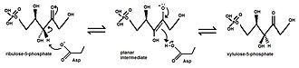 Isomerase - The conversion of ribulose-5-phosphate to xylulose-5-phosphate