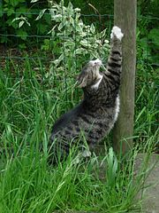 Cat scratching wooden post.