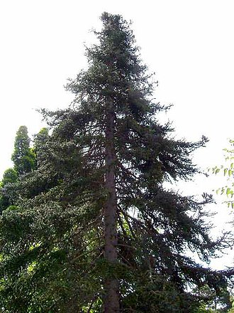 Abies pinsapo - Image: Spanish Fir