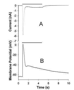Transient receptor potential channel - Figure 1. Light-activated TRPL channels in Periplaneta americana photoreceptors. A, a typical current through TRPL channels was evoked by a 4-s pulse of bright light (horizontal bar). B, a photoreceptor membrane voltage response to the light-induced activation of TRPL channels, data from the same cell are shown