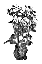 Borage from Project Gutenberg EBook of Culinary Herbs: Their Cultivation Harvesting Curing and Uses, by M. G. Kains
