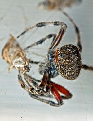 Spinneret - Image: Barn Spider Spinneret