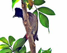 Red-vented-bulbul-in-curved-pos.jpg