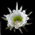 Sanpedroflower.jpg