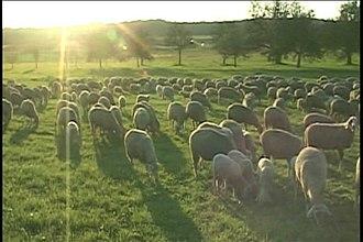 Laubach - Image: Laubach sheep