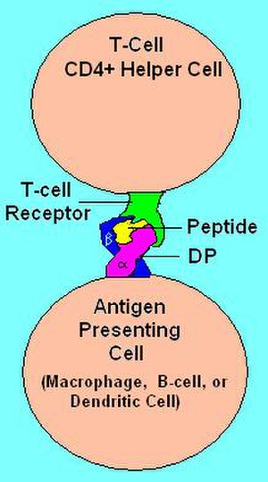 HLA-DP - HLA DP Receptor with bound peptide and TCR