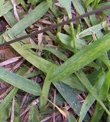 St  Augustine grass - Wikipedia