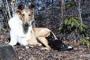 Smooth Collies are often kind to smaller animals.