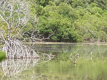 A tropical salt pond surrounded by mangrove trees. Birds are in the pond.