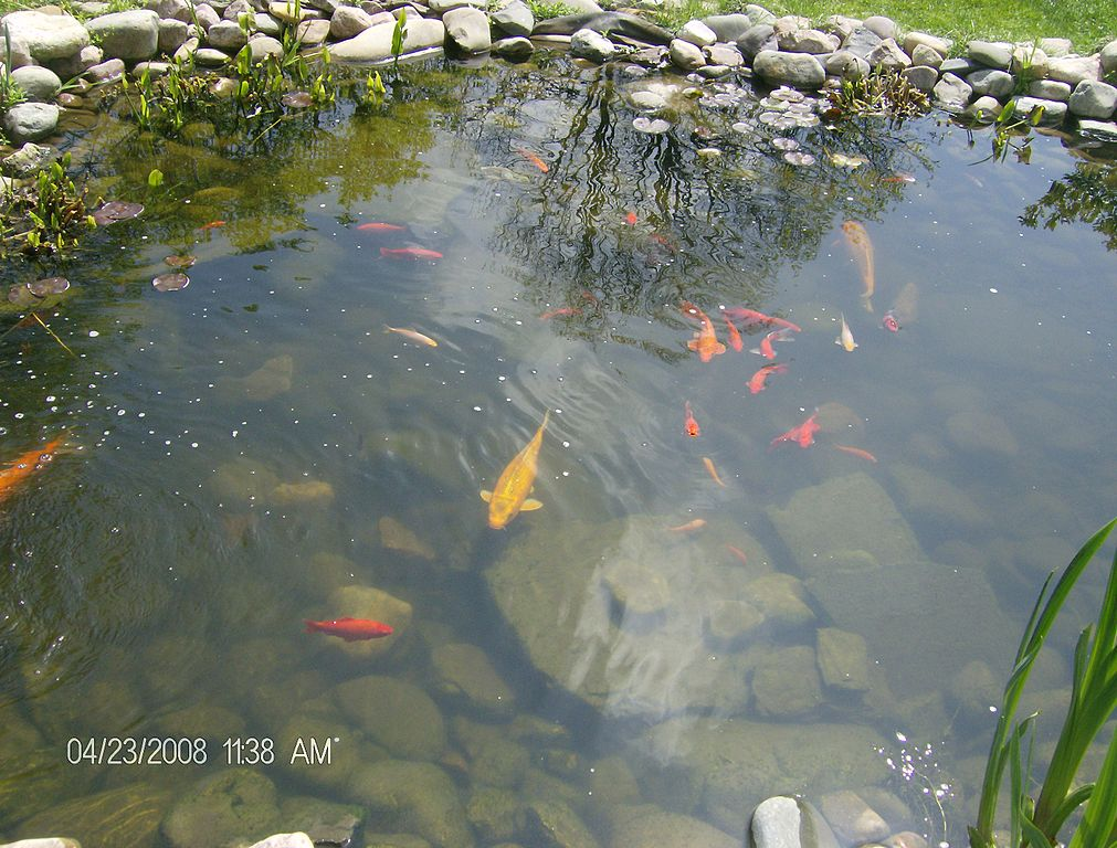 File goldfish in a pond at georgetown jpg wikipedia for Koi pond size