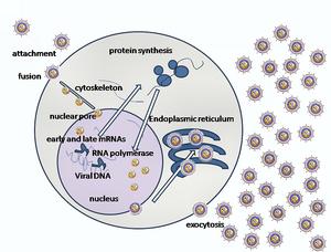 Herpes simplex virus - A simplified diagram of HSV replication