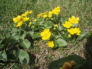 Faroe Islands - Marsh marigold (Caltha palustris) is common in the Faroe Islands during May and June.