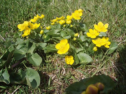 Marsh marigold (Caltha palustris) is common in the Faroe Islands during May and June. Myrisolja.jpg