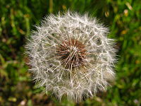 Achenes on a dandelion, also known as dandelion clocks.