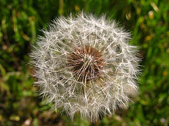 Achene - Image: Make a Wish by Vefobitseq