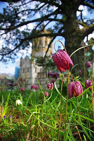 Buckfast Abbey - Fritillaria meleagris in the grounds of the abbey.