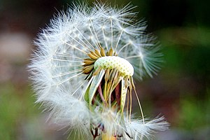 A half seeded dandelion clock.