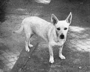 Hawaiian Poi Dog - A female from the Honolulu Zoo program, c. 1969