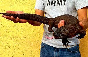 Heloderma - A Chiapan beaded lizard in captivity.