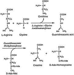 Arginine:glycin... L Arginine Structure
