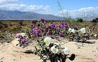 Ridgecrest, California - Wildflowers in Ridgecrest, California
