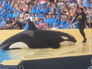Loro Parque's Orca Show