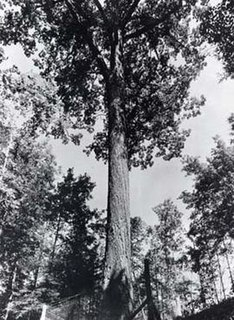 Mingo Oak A white oak (Quercus alba) in the U.S. state of West Virginia