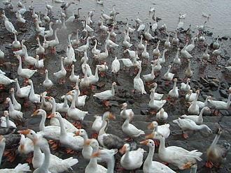 Sukhna Lake - Ducks at the lake