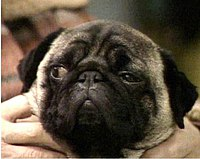 Willy the pug.jpg