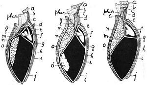 Diaphragm and pleural cavities in amphibian (left), bird (center), mammal (right). a, mandible; b, genio-hyoid; c, hyoid; d, sterno-hyoid; e, sternum; f, pericardium; g, septum transversum; h, rectus abdominis; i, abdominal cavity; j, pubis; k, esophagus; l, trachea; m, cervical limiting membrane of abdominal cavity; n, dorsal wall of body; o, lung; o', air-sac.