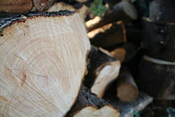 Freshly cut logs showing sap running from beneath bark