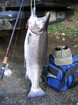 Coho salmon - Freshly caught coho