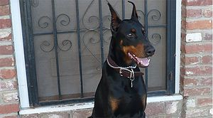 Dobermann Dog