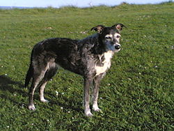 "This lurcher, ""Bubbles"", is a cross between greyhound and terrier"